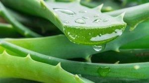 Aloe Vera gegen ischiasschmerzen