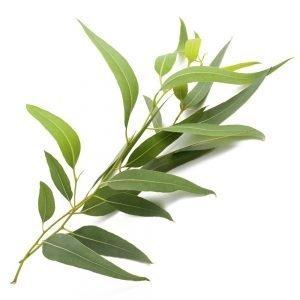 Eukalyptus gegen ischiasschmerzen